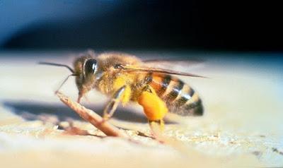 Killer bees - النحل القاتل - نحل العسل الافريقي