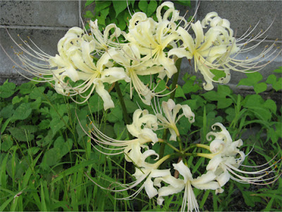 白い彼岸花 [White lycoris radiata]