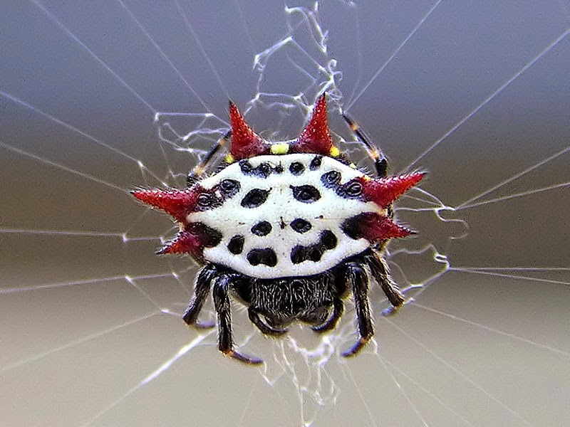 Star spider with red spines and black-white body