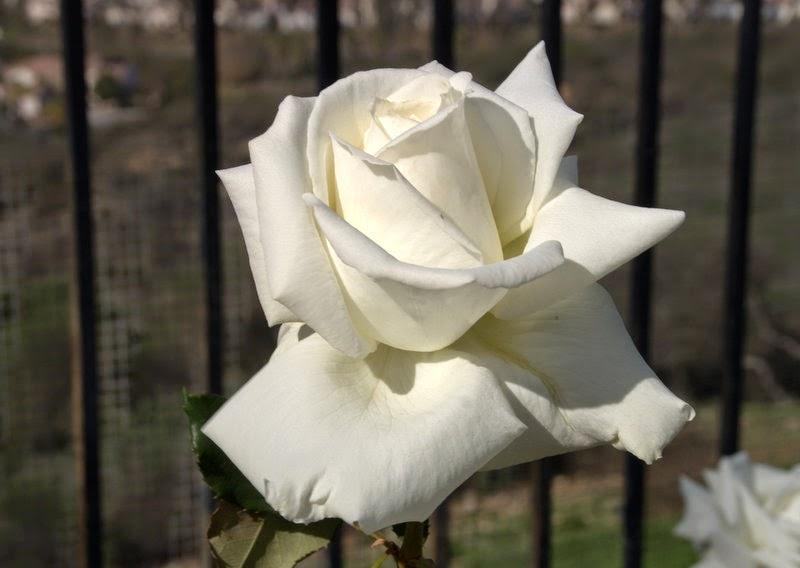 rambler rosen schneiden