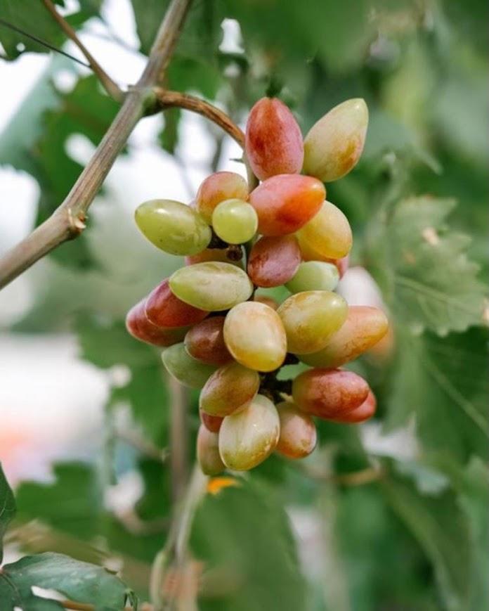 Bibit tanaman anggur baikonur VALID Blitar