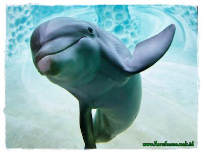 Deskripsi Lumba Lumba Delphinus Delphis Laksmi Savitri S Blog