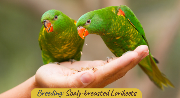 how to breeding Scaly-breasted Lorikeets