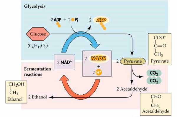 glycolysis and fermentation in yeast lab report Biology - respiration rate of yeast respiration this lab report biology - respiration rate of yeast respiration and other 64,000+ term papers, college essay examples and free essays are available now on reviewessayscom.