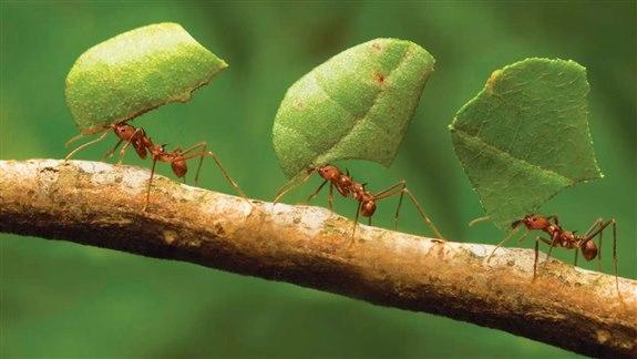 Yaprak Kesen Karınca - Y Hayvan İsimleri