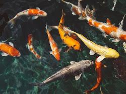 Langkah dan Cara Membuat Kolam Ikan Koi