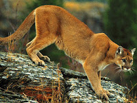 Cougar Animal Pictures