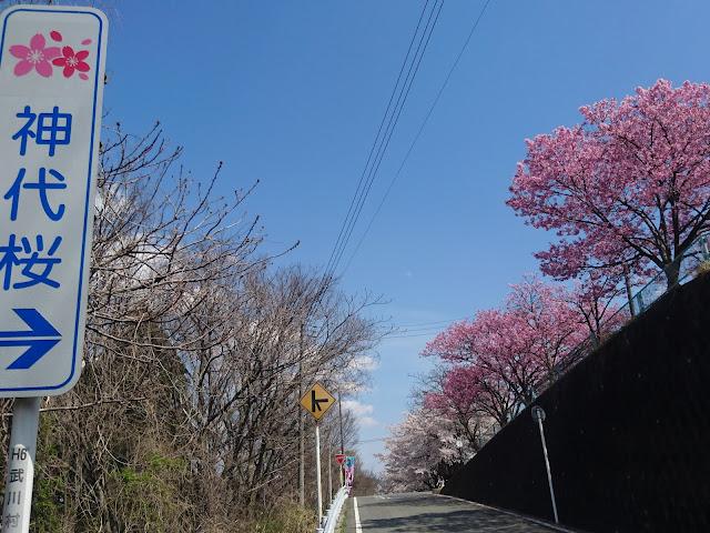 神代桜案内看板