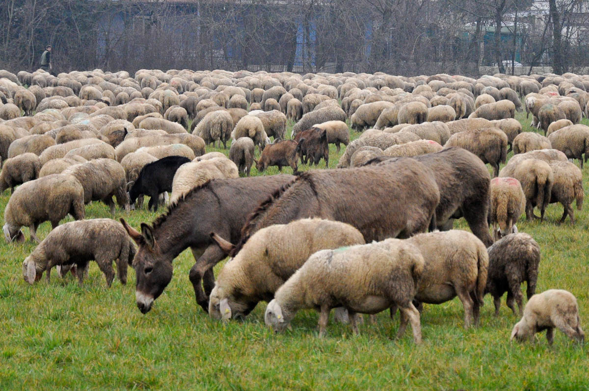 Grazing sheep and donkeys, Rettorgole, Vicenza, Veneto, Italy