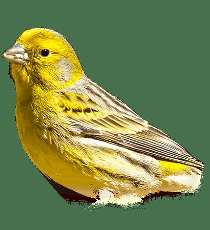 Suara burung kenari youtube