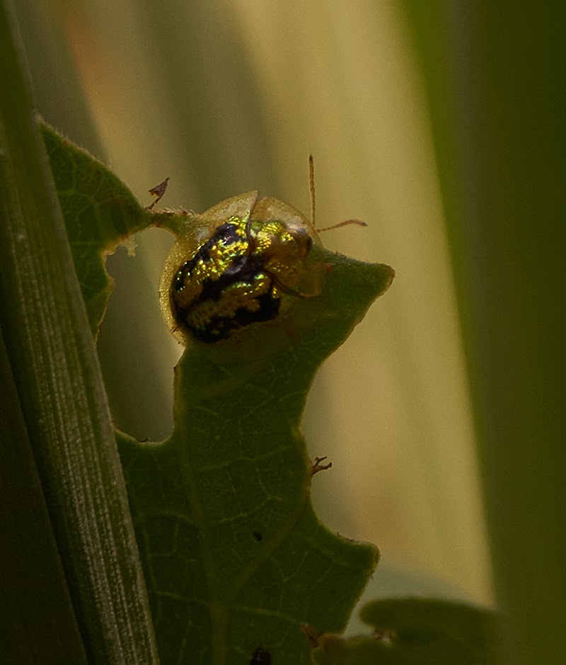 Golden Tortoise Beetle, brown out, all day