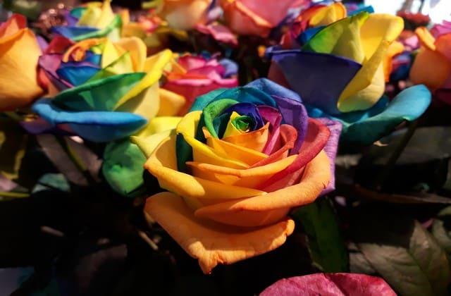 gambar bunga mawar pelangi yang mempesona