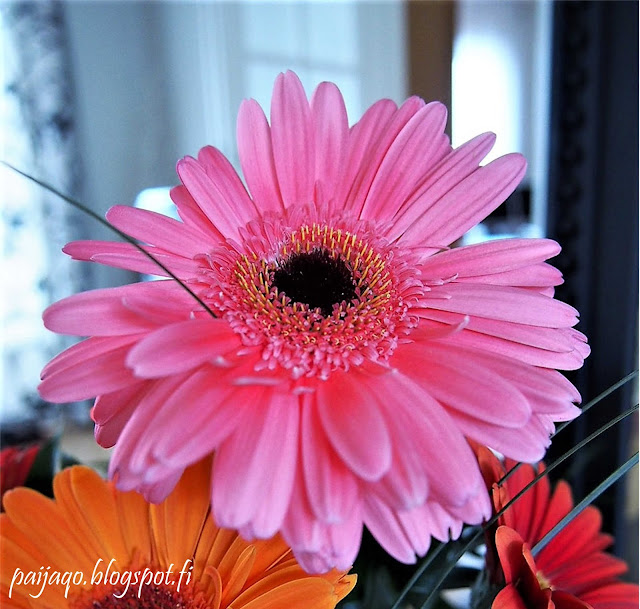 pinkkigerbera