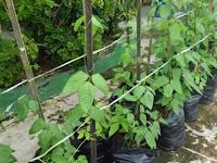 Dengan Polybag Bertanam Sangatlah Mudah & Tanpa Ribet