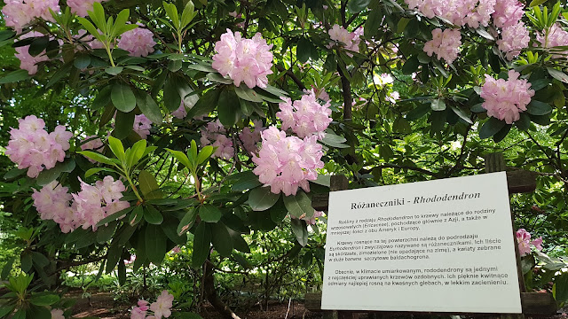 Różanecznik w Ogrodzie Botanicznym Uniwersytetu Jagiellońskiego