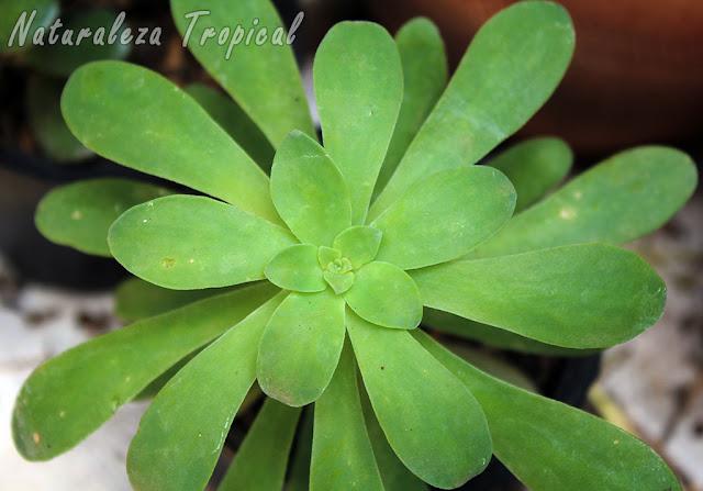 Planta suculenta no cactácea muy hermosa