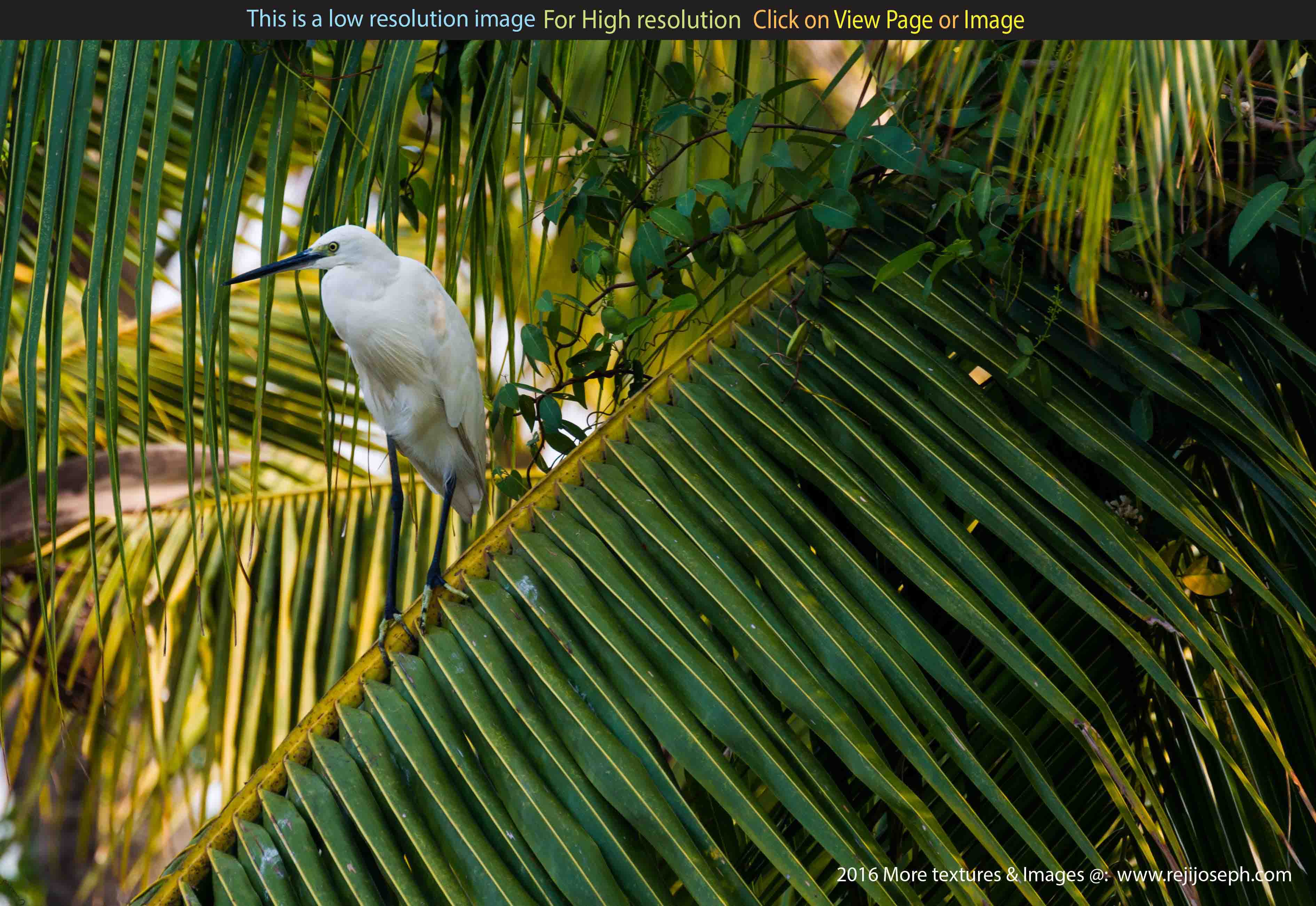 Snowy Egret bird 00002