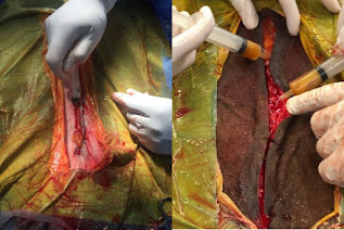 Figure 1: Example of intra-incisional application of L-Mesitran Soft (MGH) following colic surgery.