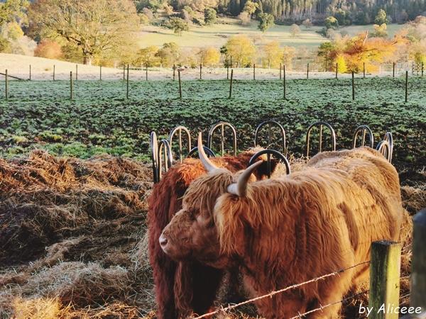 Scotland-cow-picture