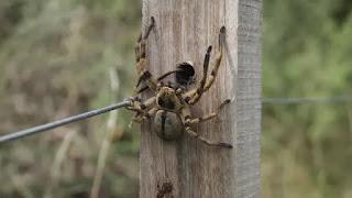 Araña del monte
