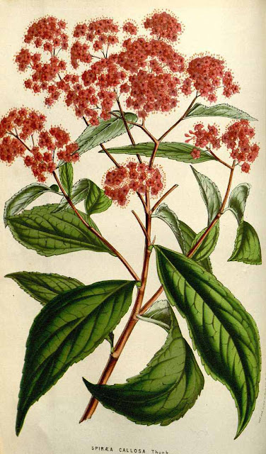 Botanical illustration of Spiraea japonica