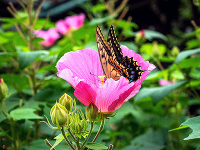 Fuyo (Hibiscus mutabilis) flower and swallowtail: Kaizo-ji
