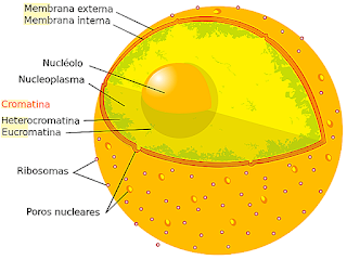 Cell nucleus, functions, structure and composition