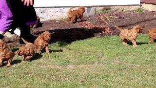 F1b Goldendoodle Temperament, Size, LifeSpan, Adoption, Price