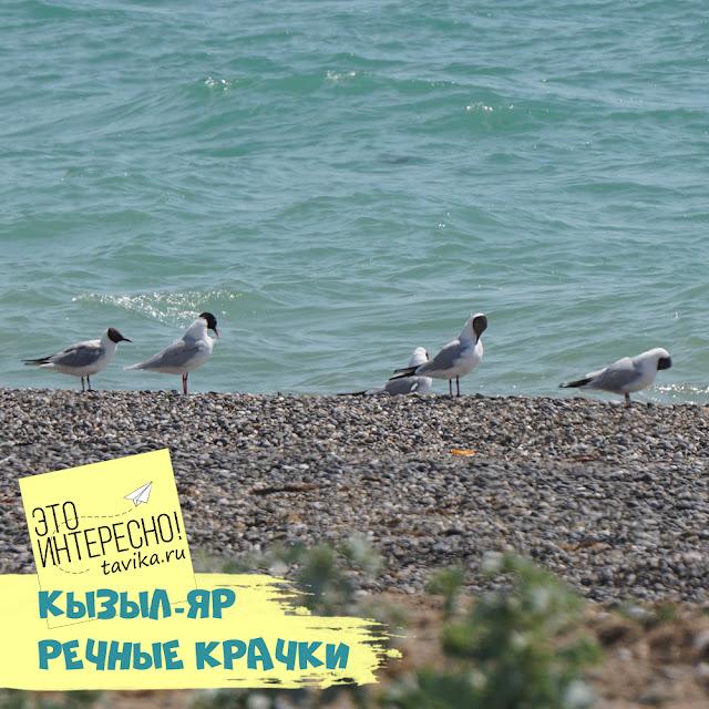 речная крачка на озере Кызыл-Яр