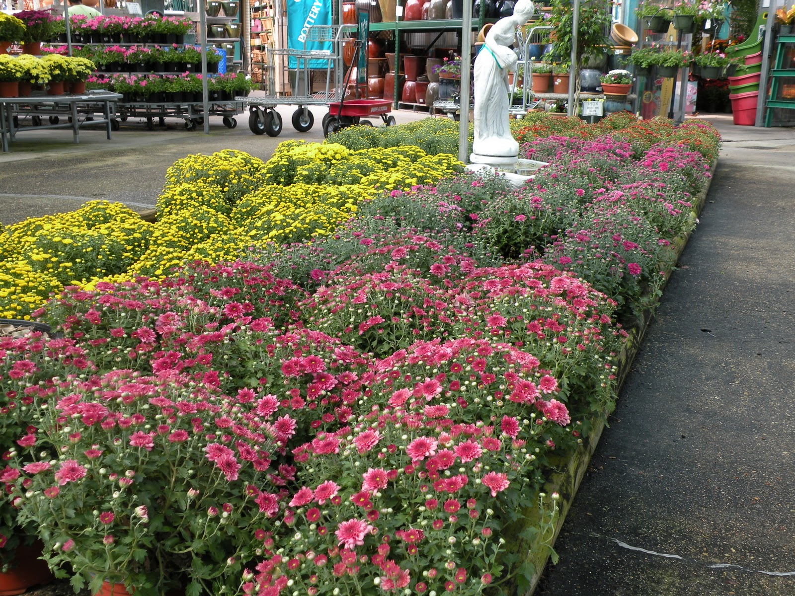 La Nursery Has So Many Colors To Choose From Mums Look Nice For Holiday Displays Don T Forget Plant Your In A Sunny Spot