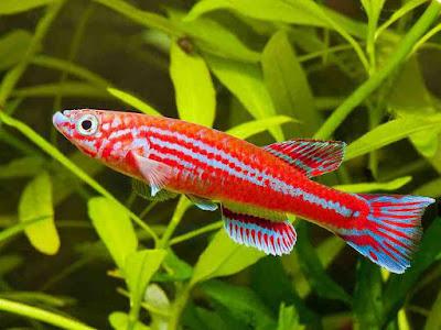 Ikan Killifish