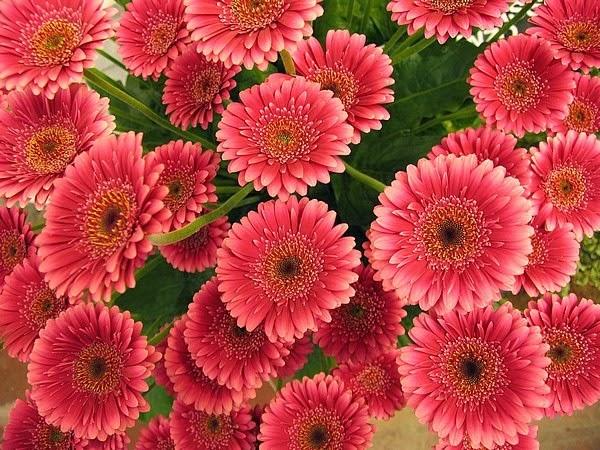 Flores Mexico Las Gerberas