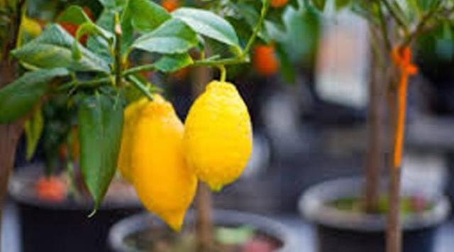 INILAH Trik Menanam Sendiri Lemon di Halaman Rumahmu!