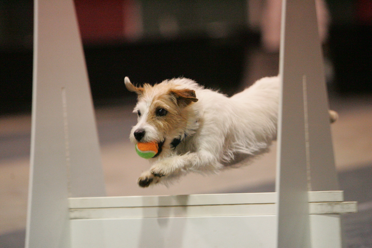 Jack-Russell-Terrier-Flyball-course