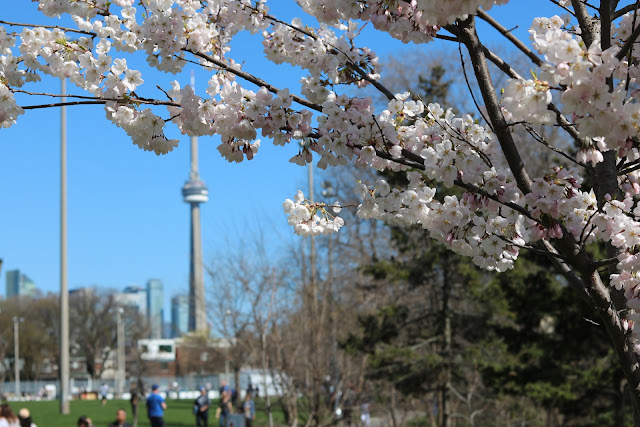 toronto cherry blossom photo