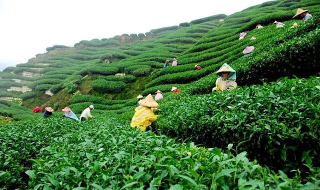 Beautiful Bangladesh, tea garden sylhet.