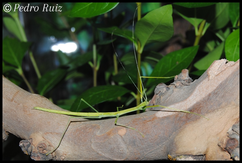 Ninfa L4 de Anarchodes annulipes, 5 cm de longitud