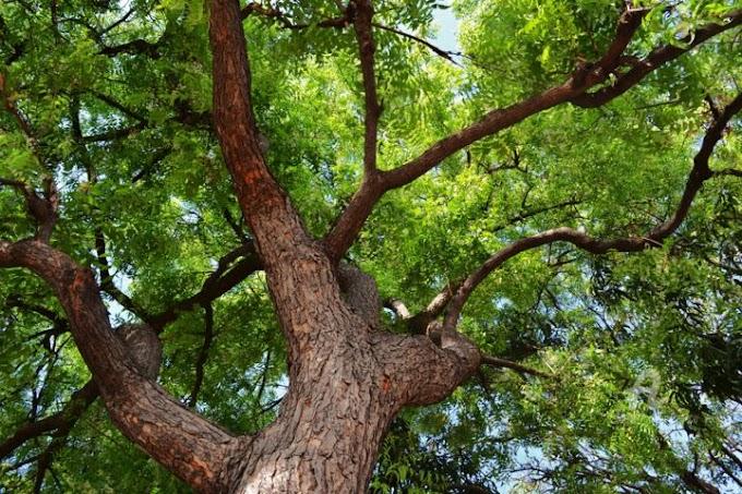 نیم کا درخت کراچی کے لیے ایک بہتر انتخاب