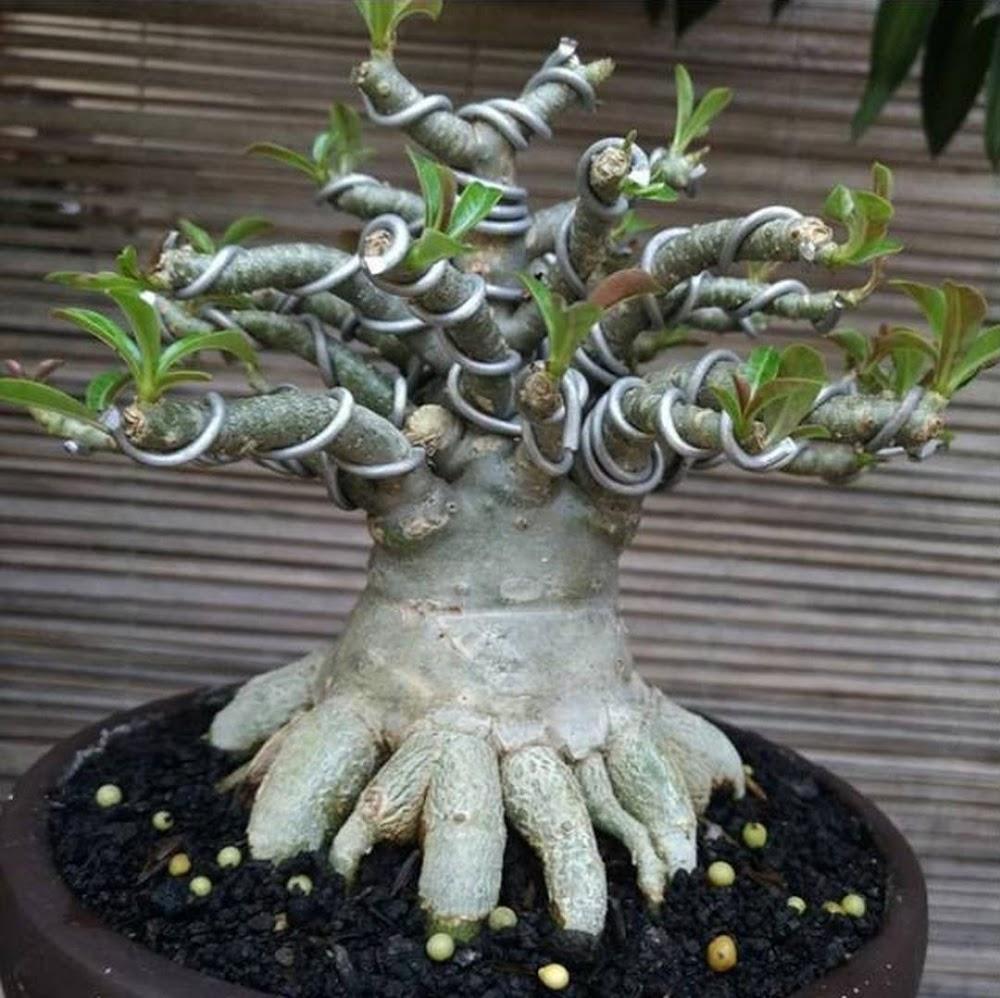 bibit tanaman adenium bonggol besar bahan bonsai kamboja jepang Aceh