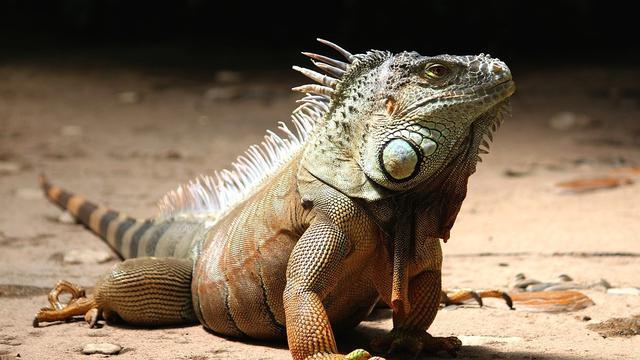 contoh binatang melata iguana