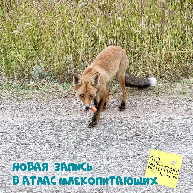 встреча с лисой в окрестностях Симферополя