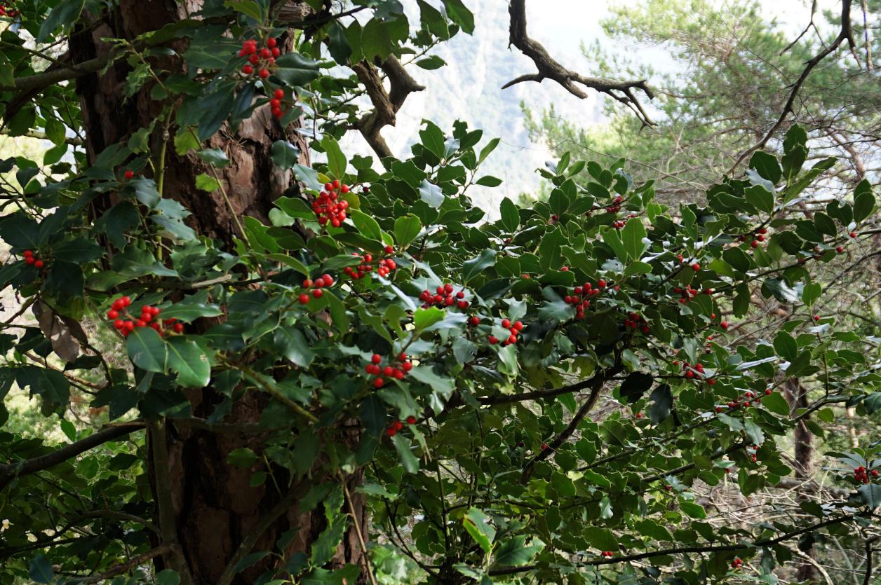Winter berries near Col des Banquettes