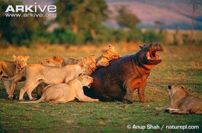 Lions attack Hippopotamus
