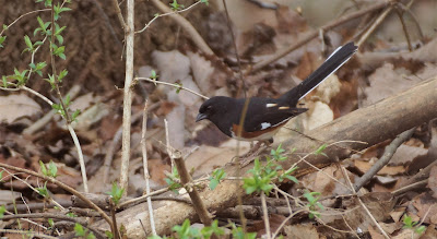 male eastern towhee on fallen branch