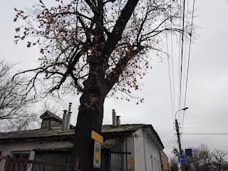 Прилуки. Ул. Константиновская. 2 вековых дуба, памятника природы