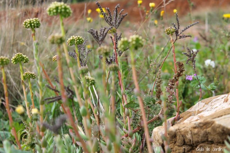 Sedums y otras hierbas