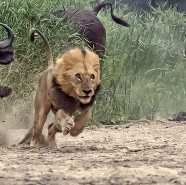 caters_buffalo_chase_lion_0