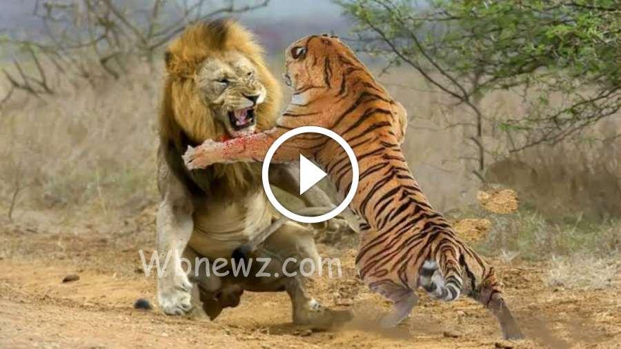 ஆப்ரிக்க சிங்கம் vs வங்காள புலி… சண்டை வைத்தால் யாருக்கு வெற்றி !