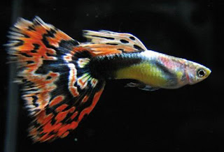 Tips cara memilih ikan guppy