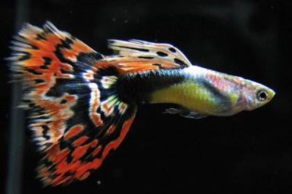 Cara Memilih Induk Ikan Guppy yang Bagus Untuk Diternak